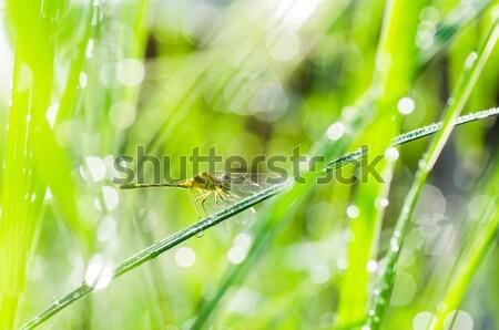 Szitakötő napfény kert zöld természet Stock fotó © sweetcrisis