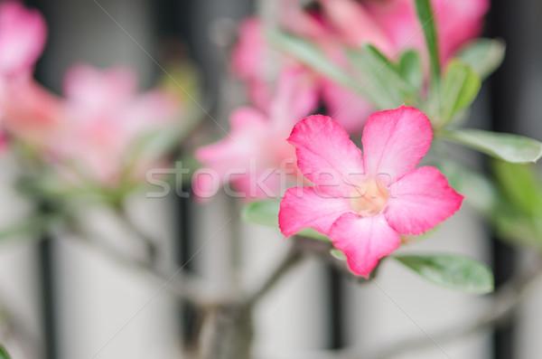Azalea flowers in Thailand Stock photo © sweetcrisis