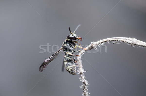 Wasp in the nature Stock photo © sweetcrisis