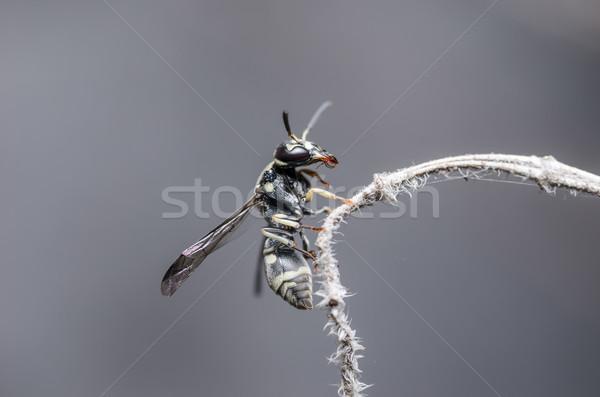 Wesp natuur zwarte onderwijs zomer insect Stockfoto © sweetcrisis