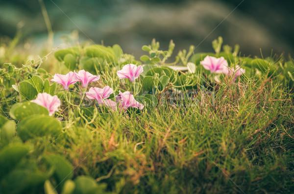 Sabah şan çiçekler bağbozumu aile doğa Stok fotoğraf © sweetcrisis