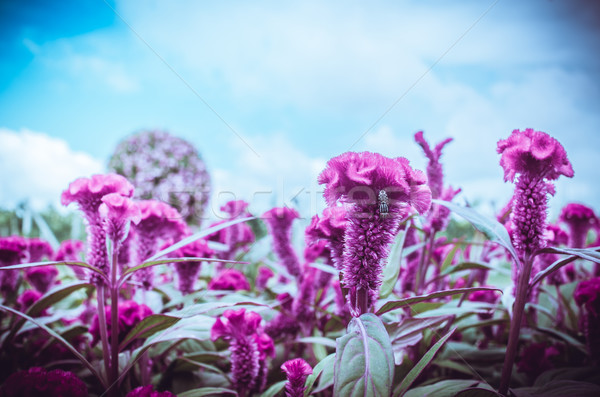 Red Celosia or Wool flowers or Cockscomb flower vintage Stock photo © sweetcrisis