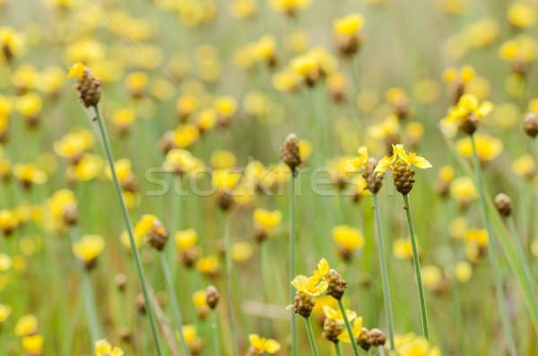 желтые цветы Таиланд трава природы саду Сток-фото © sweetcrisis