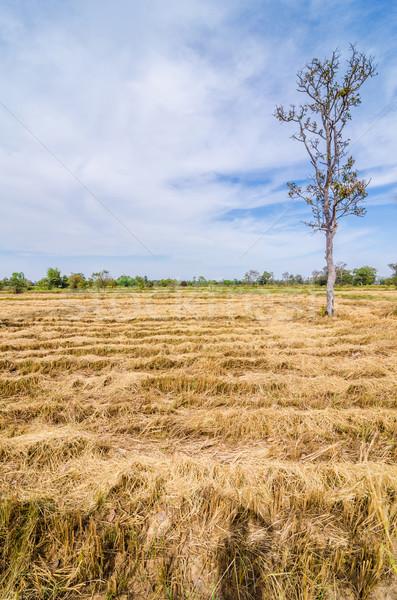 Baal gouden stro veld blauwe hemel natuur Stockfoto © sweetcrisis