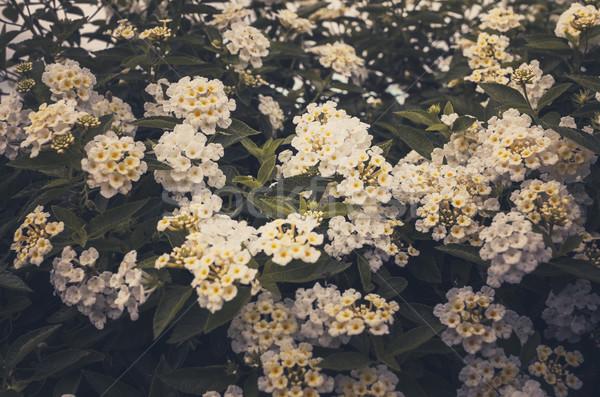 Vad zsálya ruha arany klasszikus virágoskert Stock fotó © sweetcrisis