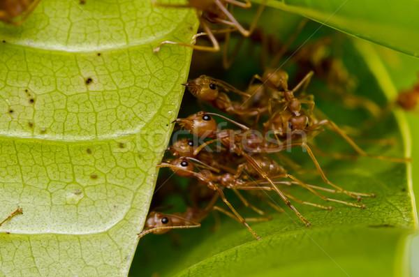 Piros hangyák csapatmunka épület otthon munkás Stock fotó © sweetcrisis