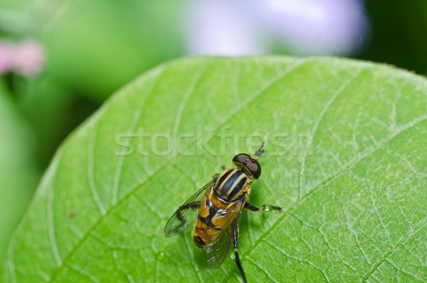 Flower files or Fruit flies in green nature Stock photo © sweetcrisis
