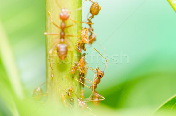 Rosso ant foglia natura giardino nero Foto d'archivio © sweetcrisis