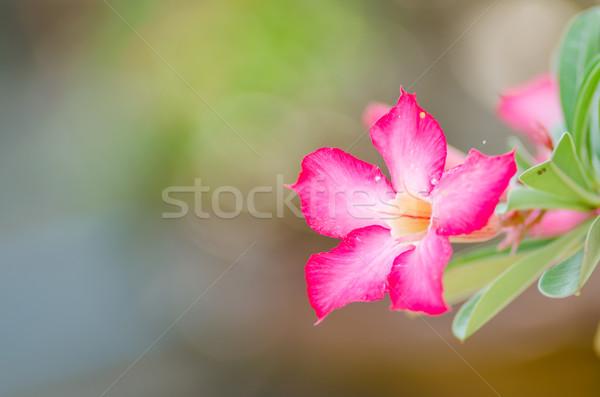 Desert Rose or Impala Lily or Mock Azalea flower Stock photo © sweetcrisis