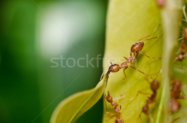 red ant in green nature Stock photo © sweetcrisis