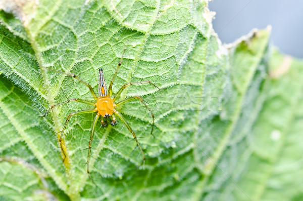 Longues jambes araignée vert nature jardin printemps Photo stock © sweetcrisis