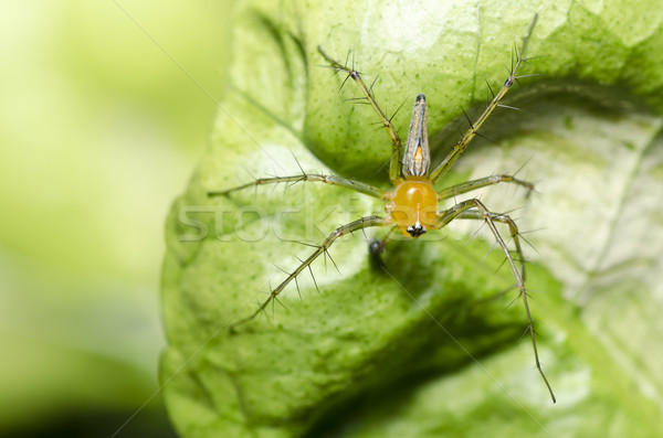 Pernas longas aranha verde natureza jardim primavera Foto stock © sweetcrisis