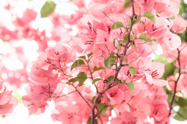 Paper flowers or Bougainvillea Stock photo © sweetcrisis
