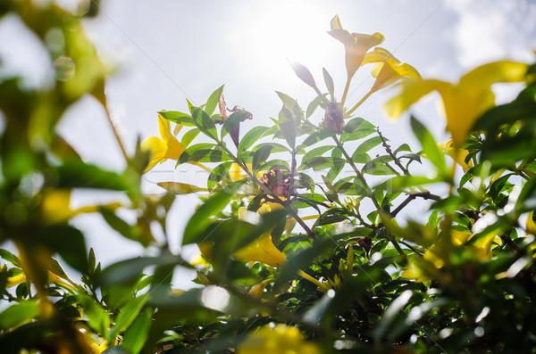 Arany trombita virág kert természet park Stock fotó © sweetcrisis