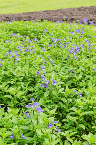 Virágok mező kert természet park Thaiföld Stock fotó © sweetcrisis