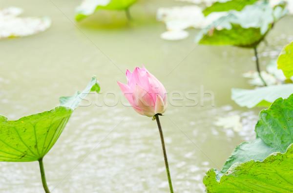 Lotus воды Лилия цветок пруд природы Сток-фото © sweetcrisis