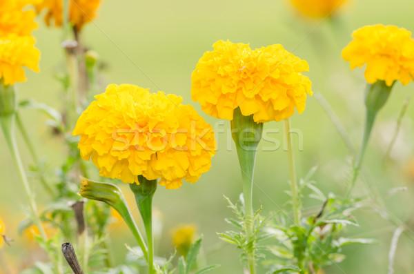 Foto stock: Flor · natureza · jardim · cabeça · planta · Ásia