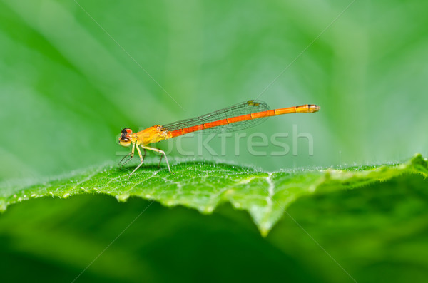 red damselfly or little dragonfly Stock photo © sweetcrisis