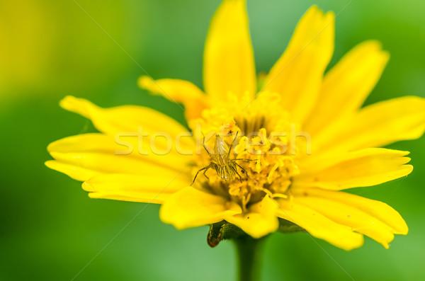 Longues jambes araignée macro vert nature fleur Photo stock © sweetcrisis