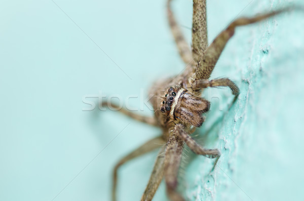 Brown spider in green background Stock photo © sweetcrisis