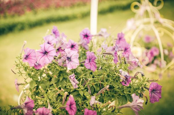 Violet Petunia or Petunia Hybrida Vilm vintage Stock photo © sweetcrisis