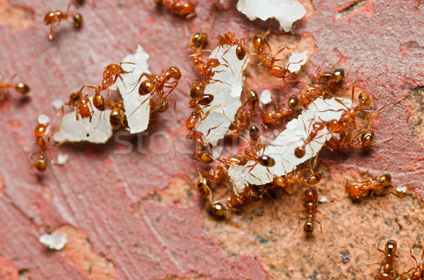 fire ant Stock photo © sweetcrisis