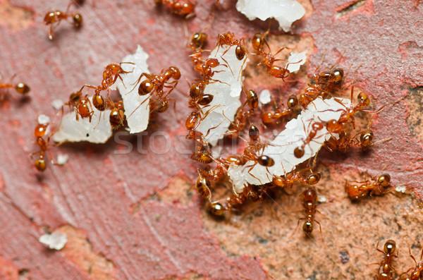 Feu fourmi nature jardin texture bâtiment Photo stock © sweetcrisis