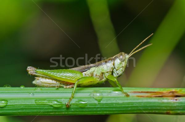 グラスホッパー 緑 自然 ファーム 背景 筋 ストックフォト © sweetcrisis