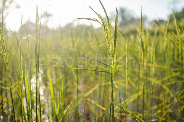 Rijstveld voedsel asia veld groene Stockfoto © sweetcrisis
