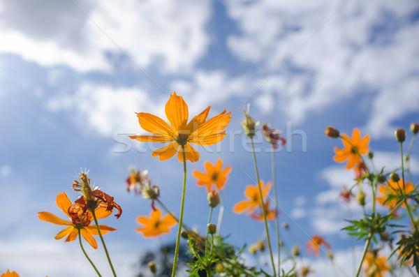 Amarelo flor blue sky céu natureza verão Foto stock © sweetcrisis