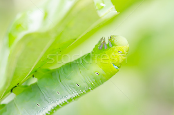 Green worm and leaf Stock photo © sweetcrisis