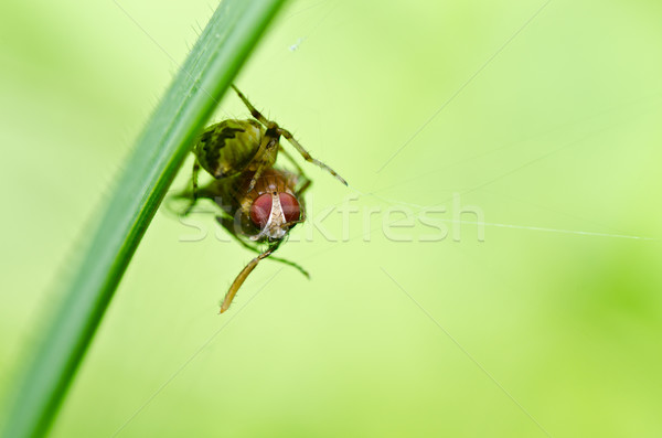 spider eat fly in nature Stock photo © sweetcrisis