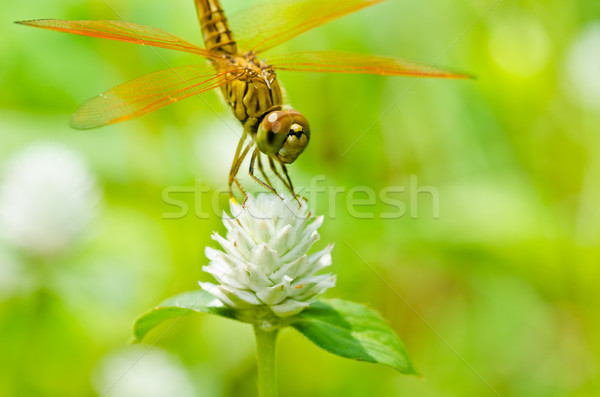 Libélula jardim verde natureza belo inseto Foto stock © sweetcrisis