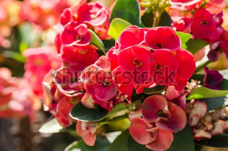 Christ Thorn or Crown of thorns Stock photo © sweetcrisis