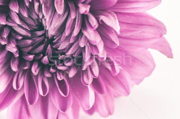 Chrysant bloem macro natuur tuin zomer Stockfoto © sweetcrisis