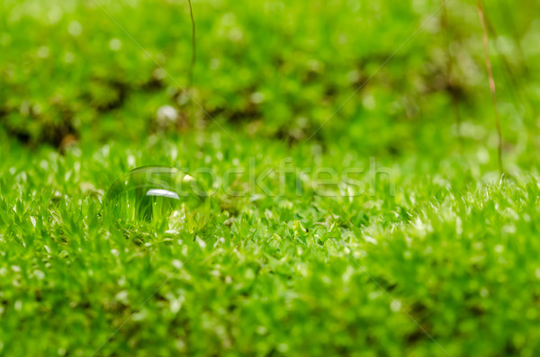 Moss and water drops Stock photo © sweetcrisis