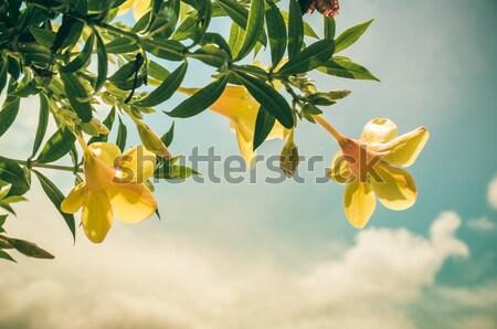 Dourado trombeta flor jardim natureza parque Foto stock © sweetcrisis