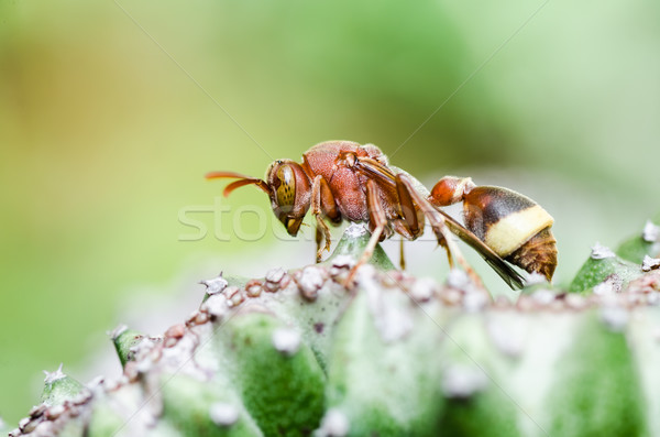 wasp and cactus  in green nature or in garden Stock photo © sweetcrisis