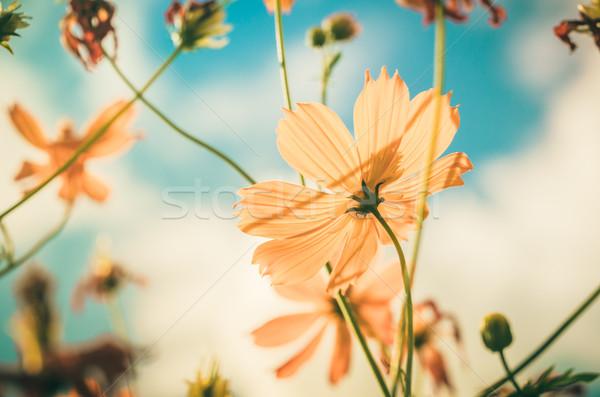 Citromsárga virág klasszikus kék ég természet égbolt Stock fotó © sweetcrisis