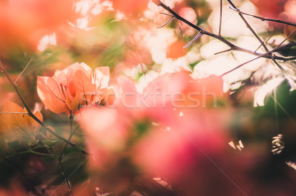 Stock photo: Paper flowers or Bougainvillea vintage