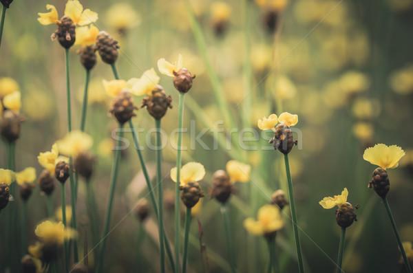Sárga virágok klasszikus vadvirág Thaiföld fű természet Stock fotó © sweetcrisis