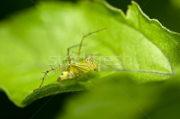Longues jambes araignée vert nature feuille verte jardin Photo stock © sweetcrisis
