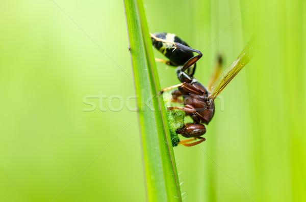 Wesp groene natuur tuin bee witte Stockfoto © sweetcrisis