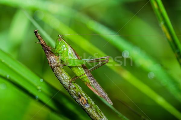 グラスホッパー マクロ 緑 自然 庭園 食品 ストックフォト © sweetcrisis