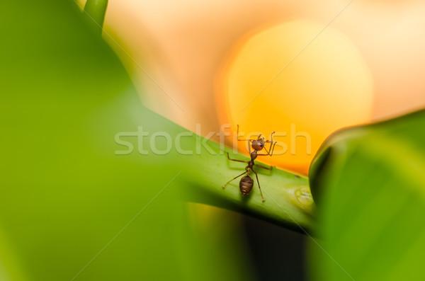 красный муравей закат природы саду Сток-фото © sweetcrisis