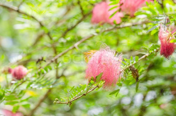 Flor rosa jardín naturaleza parque Tailandia hoja Foto stock © sweetcrisis