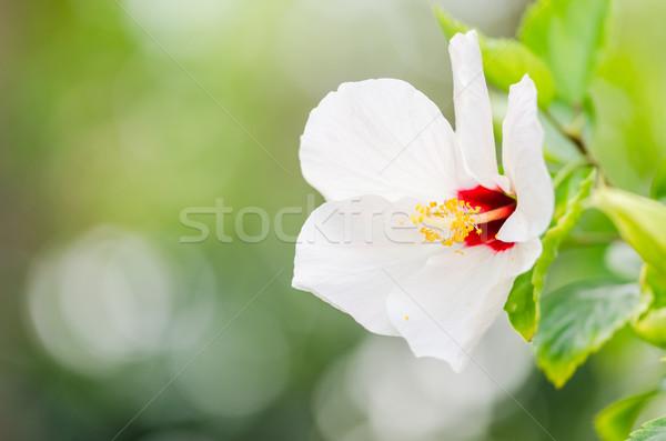 Sapato flor hibisco chinês rosa natureza Foto stock © sweetcrisis