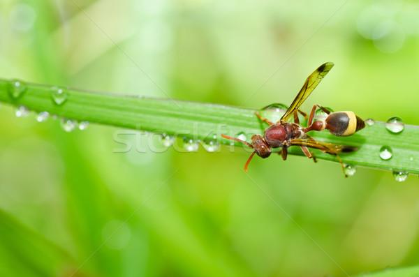 Wesp groene natuur tuin waterdruppels bee Stockfoto © sweetcrisis