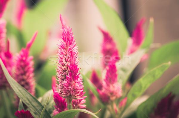 Gyapjú virágok virág klasszikus virágoskert természet Stock fotó © sweetcrisis