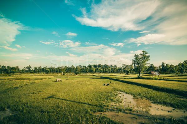Rijstveld Thailand landbouw industrie voorjaar gras Stockfoto © sweetcrisis
